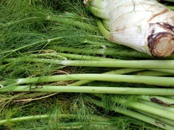 GM fennel 8-22