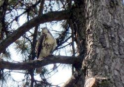 Hawk 8-25