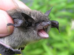 Littlebrownbat mammalwatcher