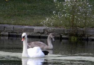 Injured swan 10-6