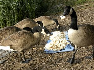 Goose Gluttons 10-6