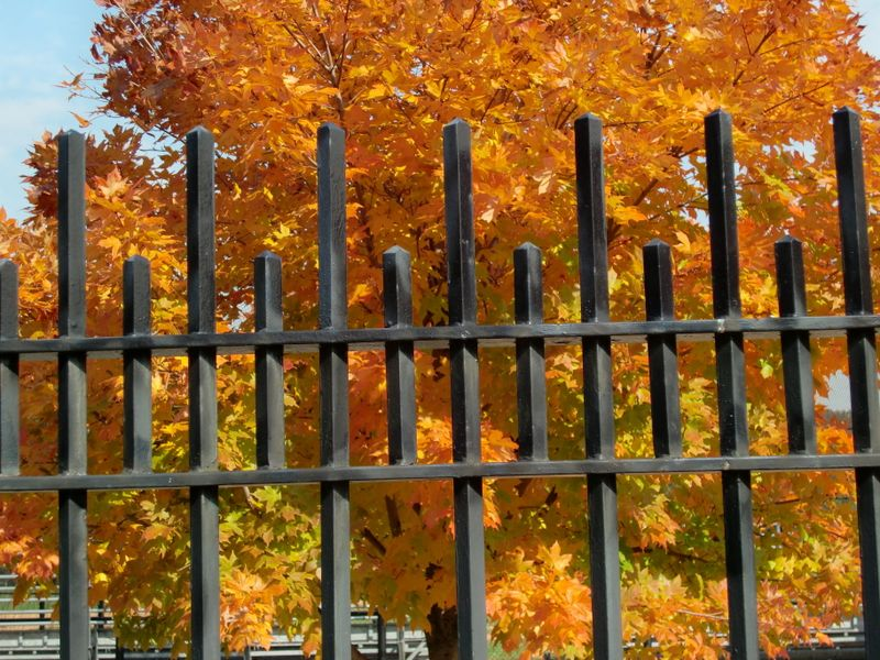 Leaves thru fence 10-21