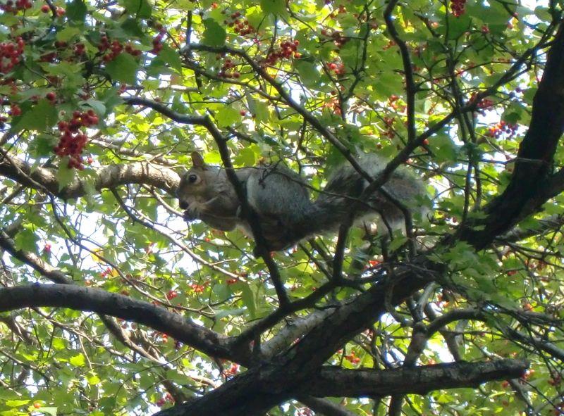 Squirrelberries 10-21