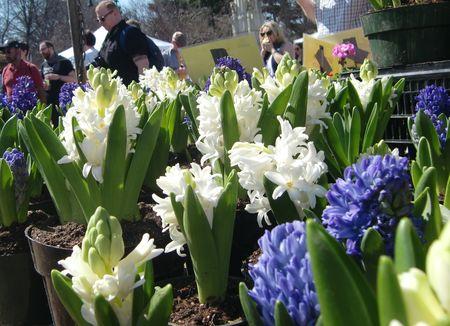 Hyacinths 3-20