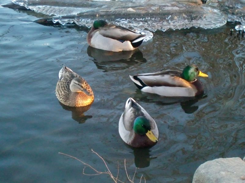 Duck quartet 1-6-10