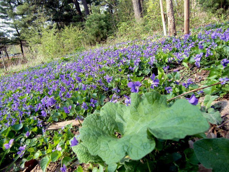 Violets 4-11