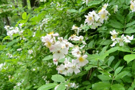 Wild roses 5-19