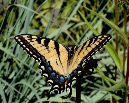 Swallowtail back 7-2
