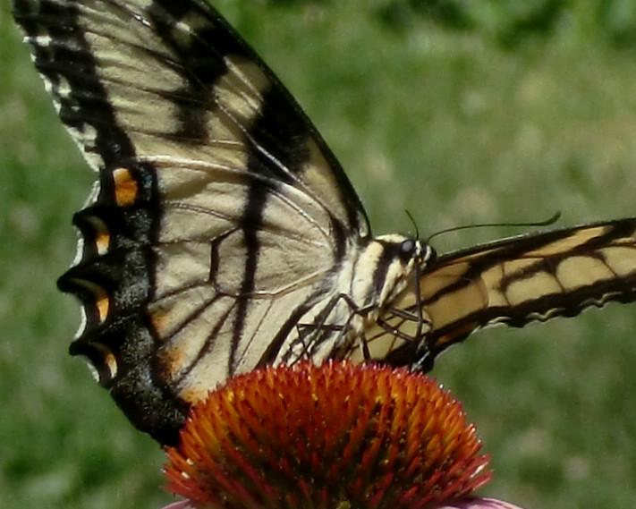 Swallowtail proboscis 7-2