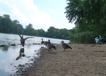 Geese return 7-21-10