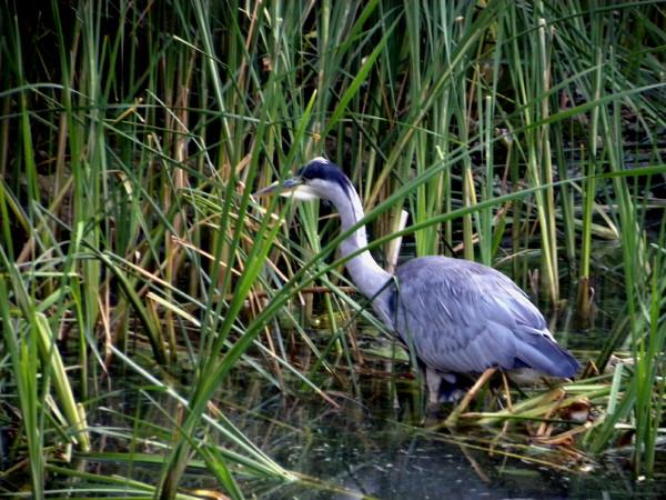 Hyde Park heron 7-10