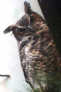 PPZoo horned owl 8-27