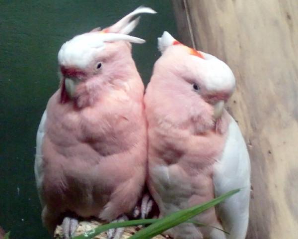 PPZoo cockatoos 8-17