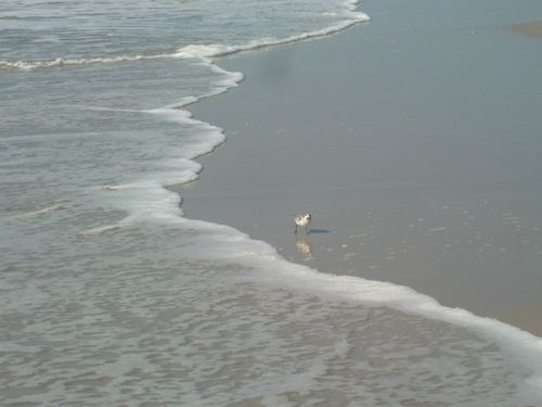 Sanderling surfside 9-23-10