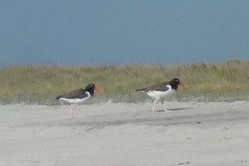Oystercatchers 9-23-10