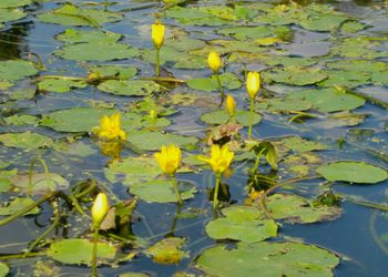 Lily yellow 10-7-10