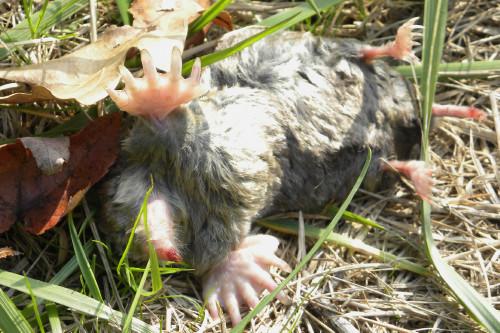 Wayne dead mole