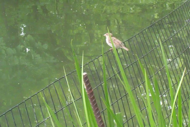 Lake sparrow 6-14