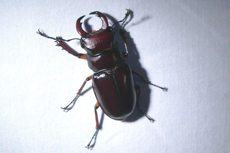 Shield beetle 6-27