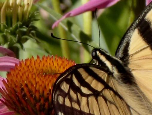 Swallowtail cu 7-2