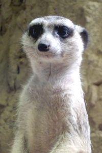 PPZoo meerkat 8-27
