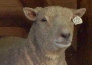 PPZoo babydoll sheep 8-27