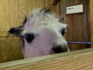 PPZoo alpaca 8-27