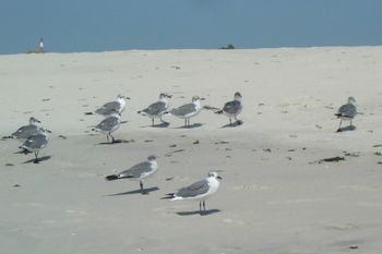 Ring-billed gulls 9-23-10