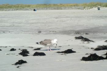 Young gull 9-23-10