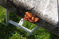 Wayne table fungus