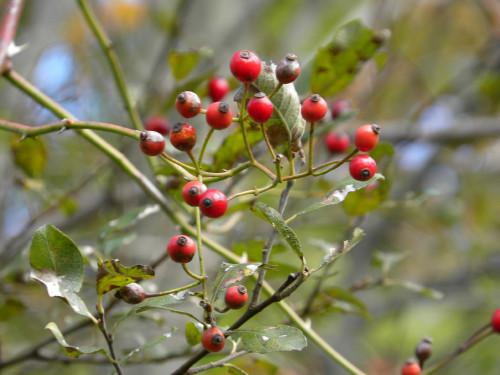 Wayne red berries
