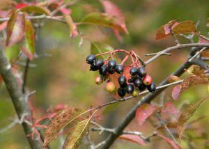 Wayne black berries