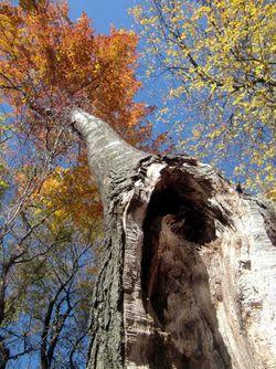 Hollowtree vert 11-11