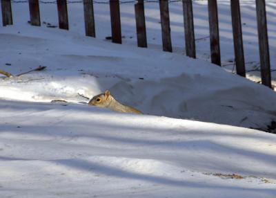Snow squirrel 12-28