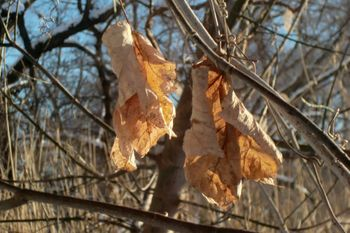 Sunshot dried leaves 1-13