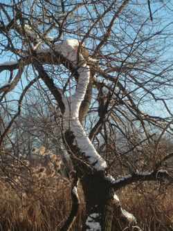 Snowsnake on tree 1-13