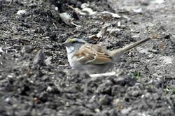 White-throated sparrow 3-19