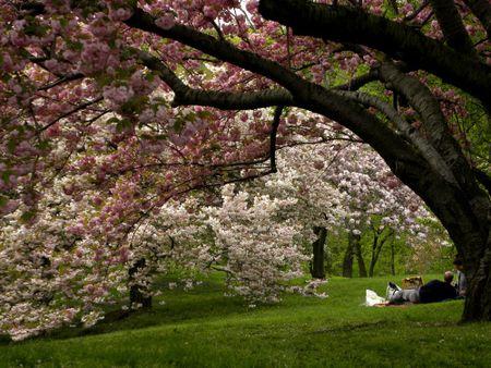 Nybg cherry picnic 5-1-11