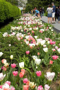 Nybg pink tulips 5-1-11