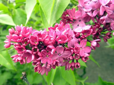 Nybg lilacs pink 5-1-11