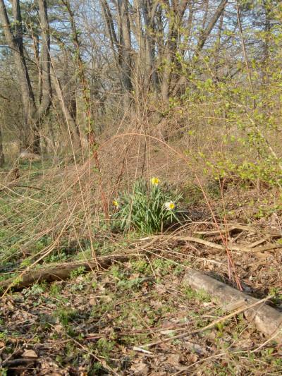 Woodland daffodils 4-20