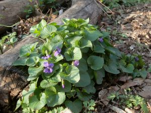 April violets 4-20