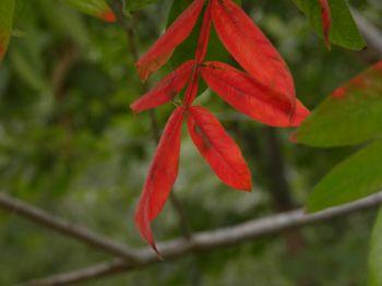 Red sumac 9-22