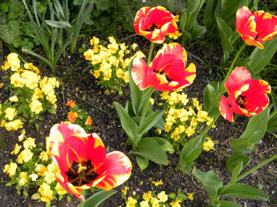 Nybg red tulips 5-1-11