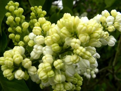 Nybg white lilacs 5-1
