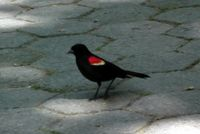 Redwinged blackbird 5-10-11