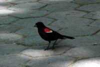 Redwinged blackbird 5-10-11