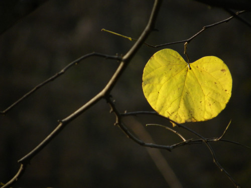 Lone yellow leaf 11-25-11