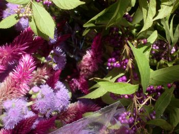 Beautyberry 10-22-11