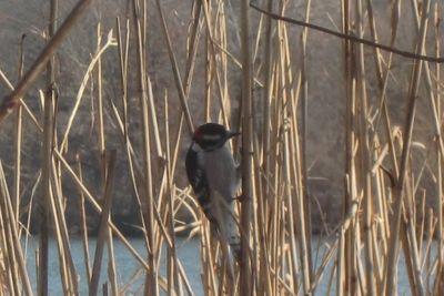 Woodpecker 1-24-12